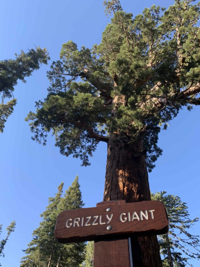 Grizzly Giant Tree