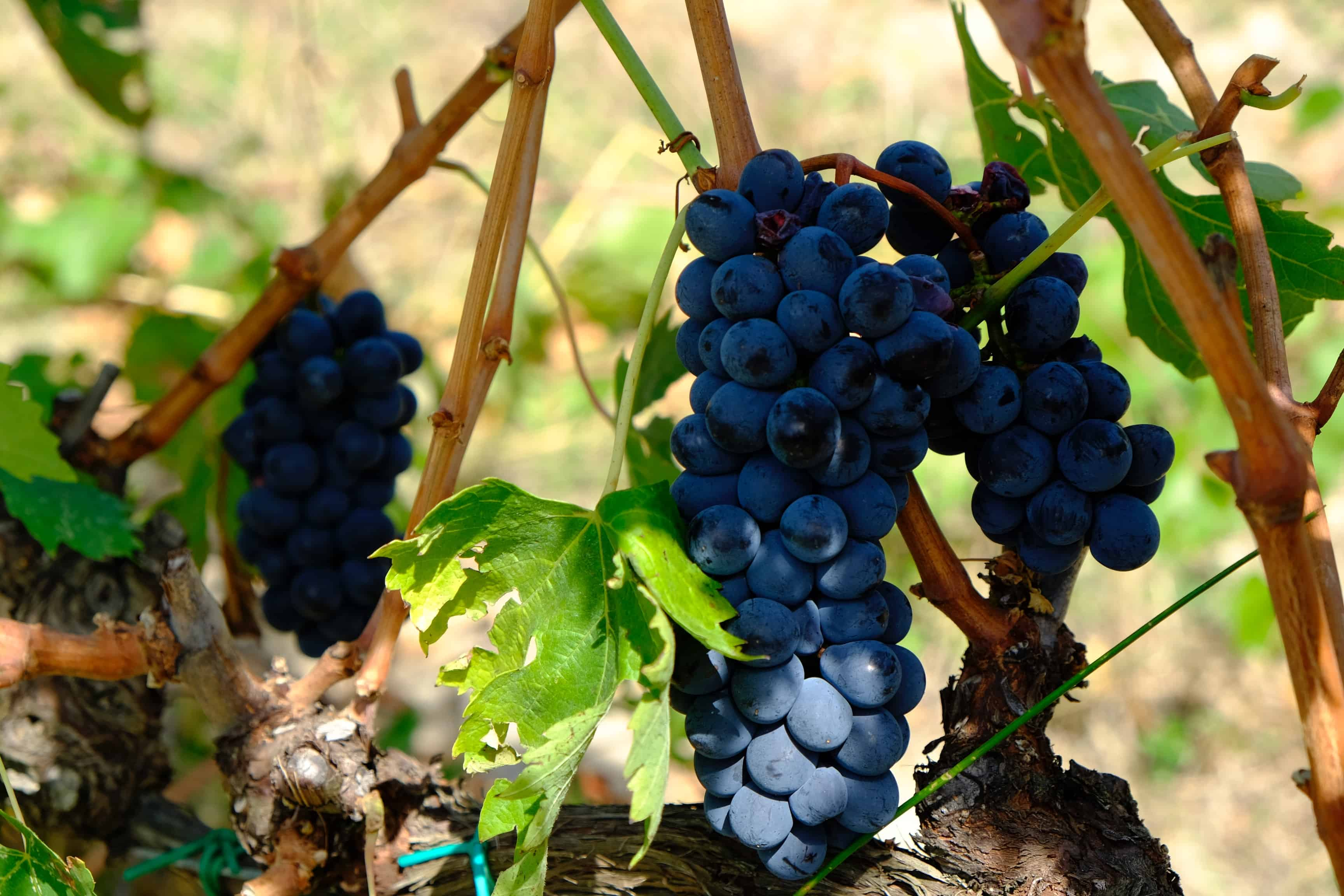 Winery - grapes on vine