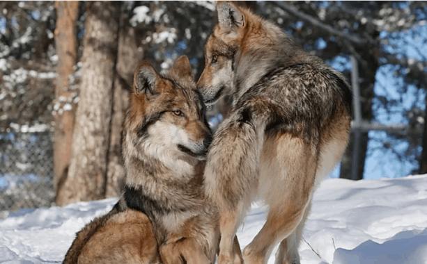 Colorado Wolf and Wildlife Center